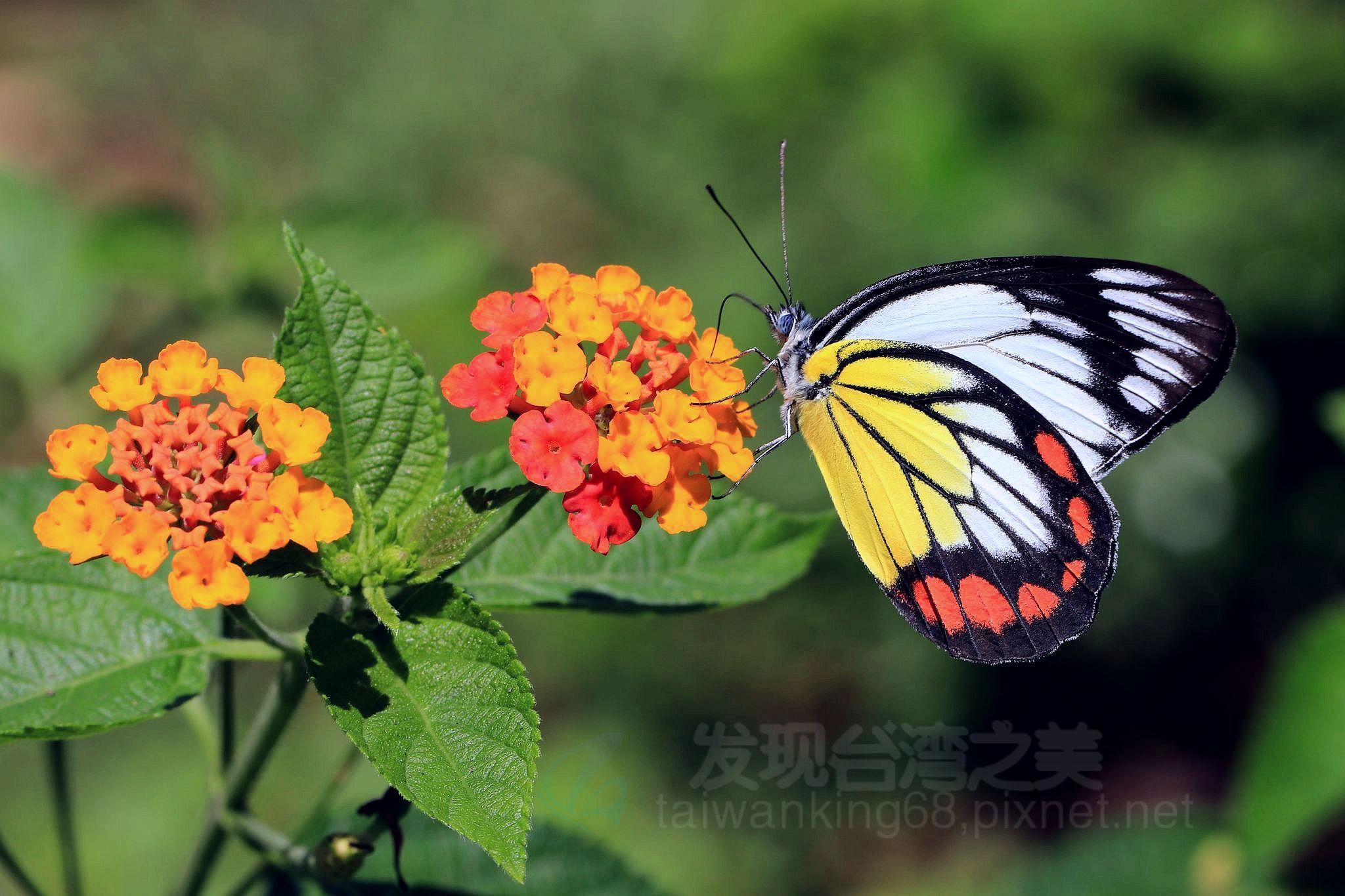 艷冠全球的紅紋粉蝶