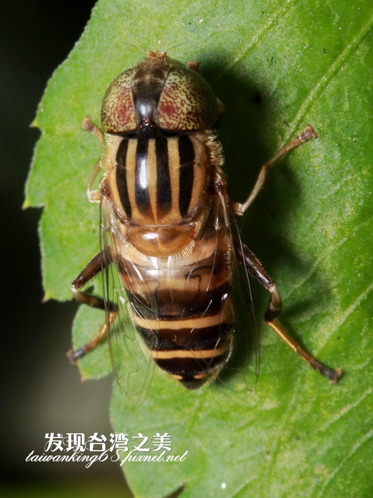 斑眼食蚜蠅