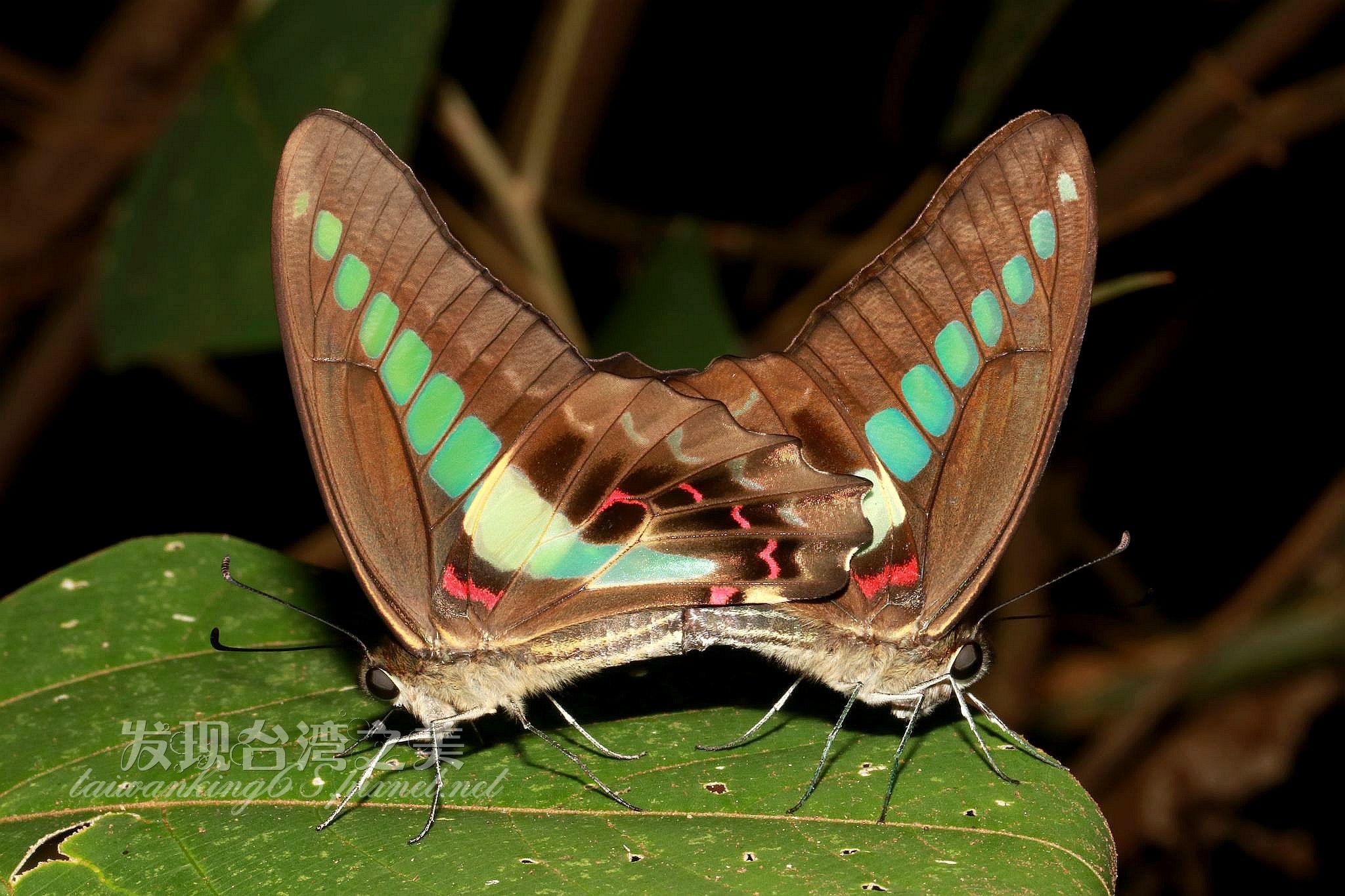 交尾中的青帶鳳蝶
