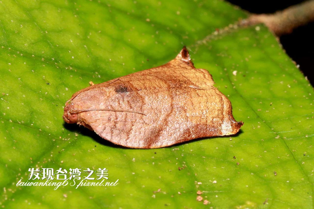 捲葉蛾(雌)