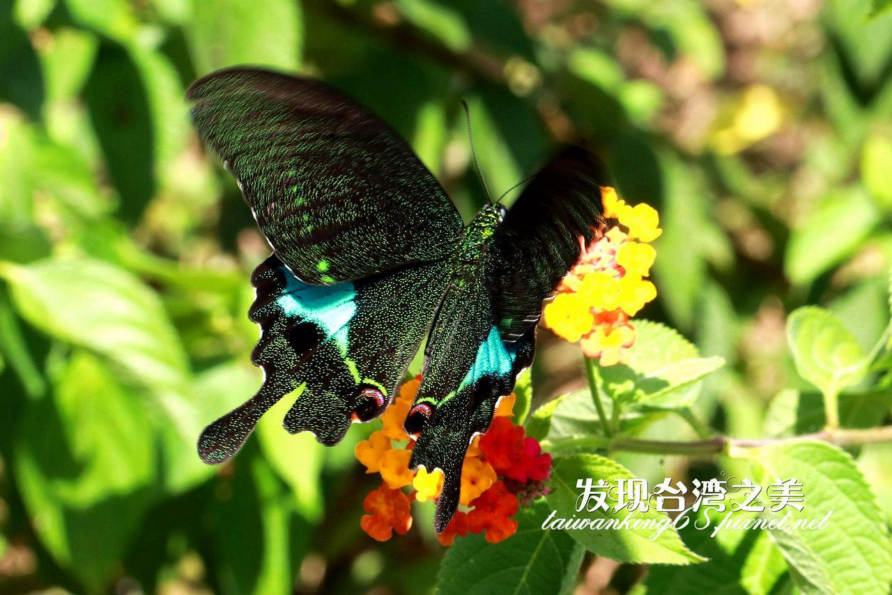 大琉璃紋鳳蝶