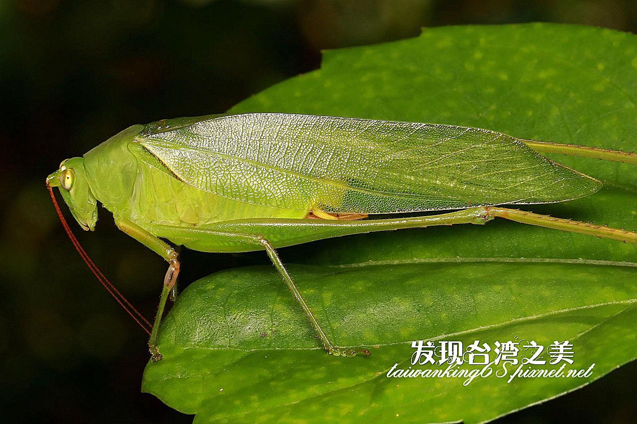 長尾華綠螽