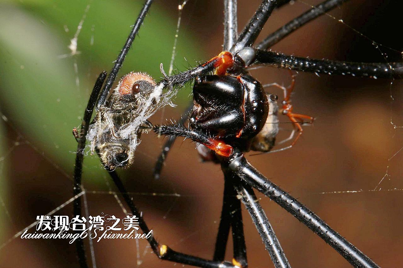 人面蜘蛛捕獲絨蟻蜂