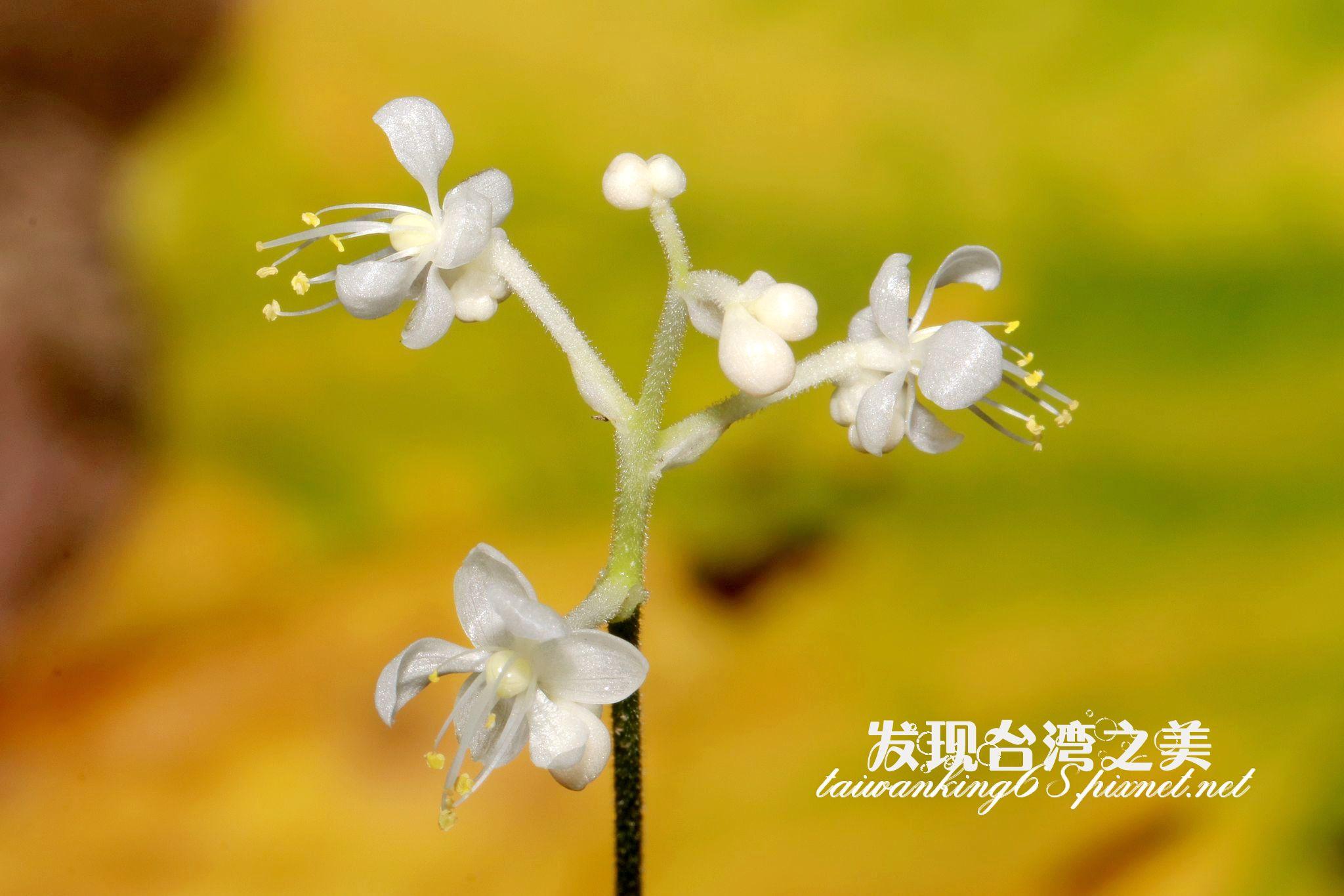 中國名花——杜若