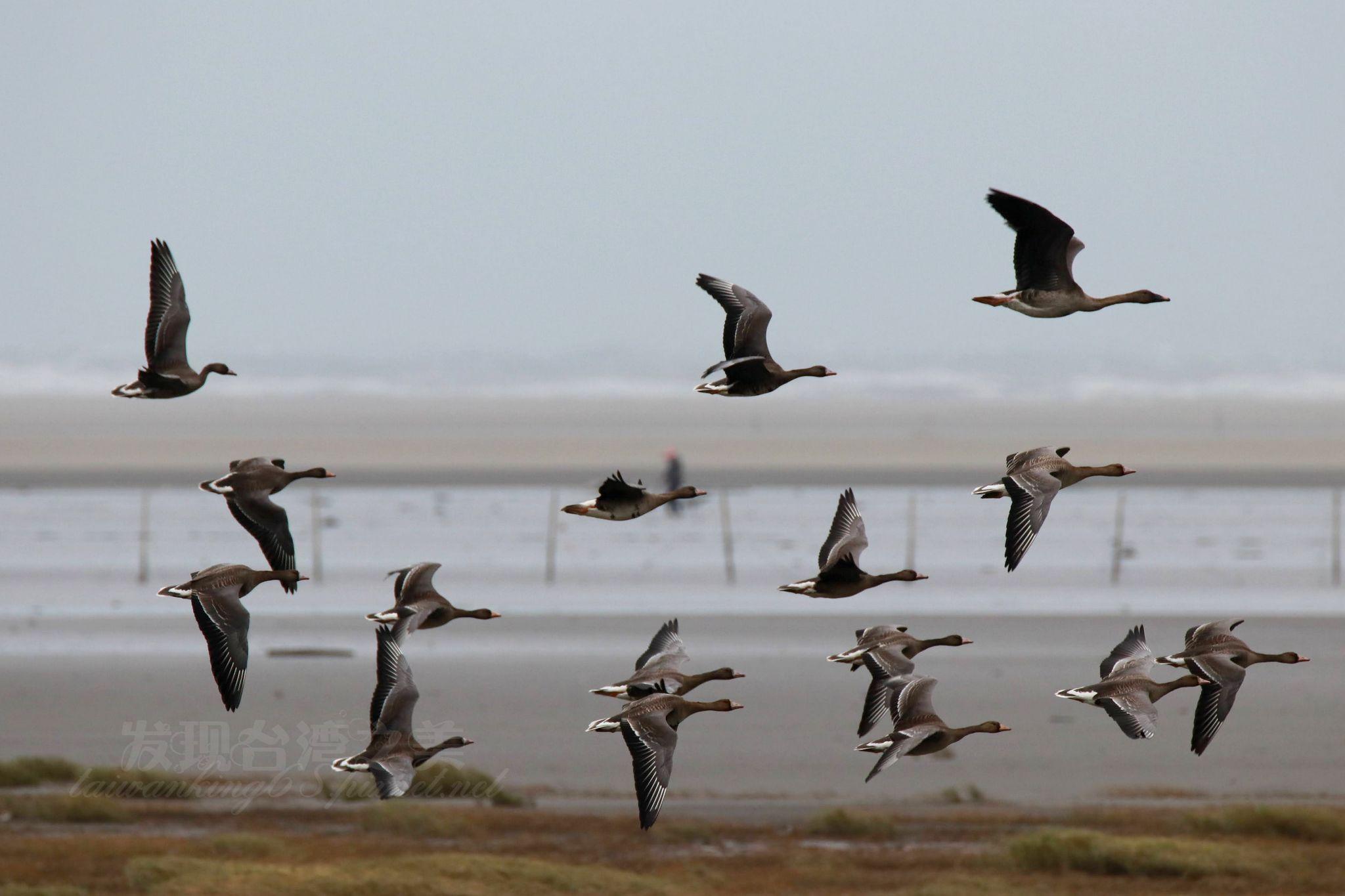 高美濕地的鴻雁與豆雁