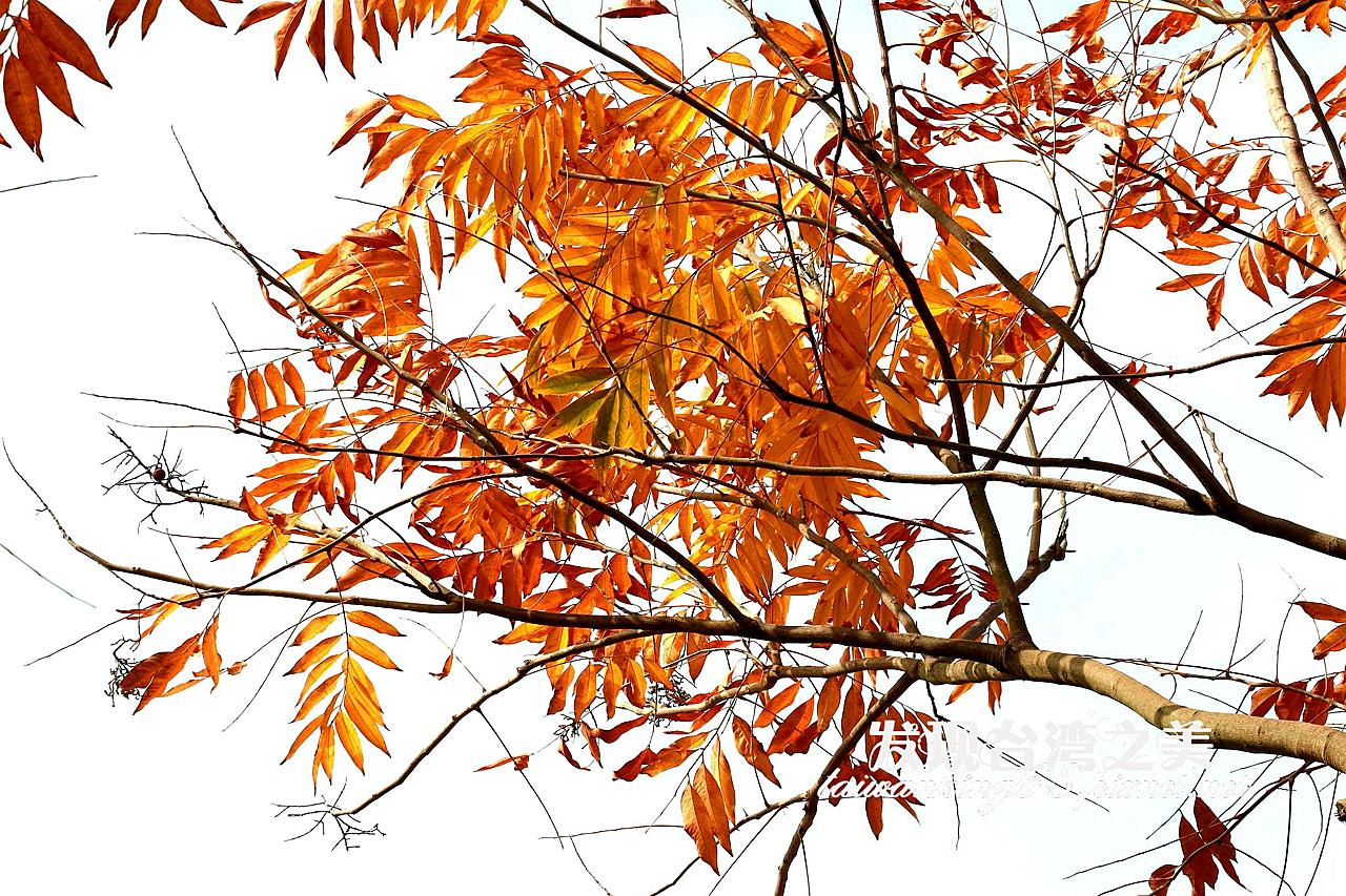 黃金樹-無患子